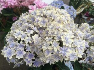 まるで本物の万華鏡の様な紫陽花「万華鏡」