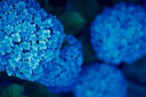 沢山の紫陽花ブルー