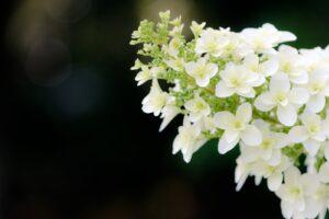 皆に人気の紫陽花「柏葉アジサイ」