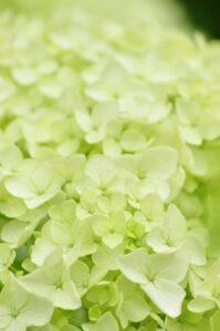 白い可憐な紫陽花「アナベル」