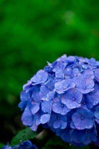 色々な種類のある紫陽花