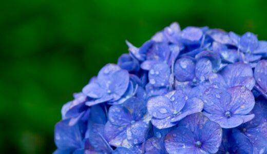 紫陽花の種類を人気&マイナー別に名前付きで8種類まとめ!