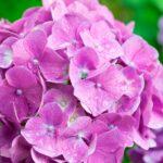 関西の紫陽花の名所ランキング!2017年に見るべき5スポット