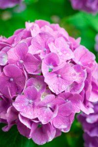 大きな花びらのピンク紫の紫陽花
