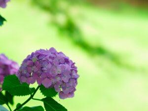 ピンク、紫の紫陽花