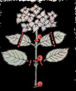 紫陽花 挿し穂の切り方