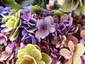 ドライフラワーに最適な秋色紫陽花