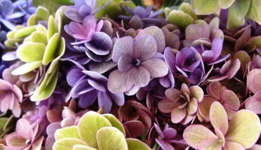 紫陽花のドライフラワーの作り方!難易度別に5つご紹介!