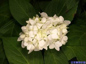 満月の様な紫陽花「モチヅキ」