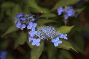 深い青色の山アジサイ「藍姫」