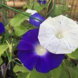 紫と白の朝顔