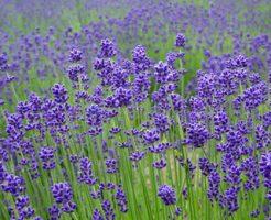 イングリッシュラベンダーは粒花が特徴