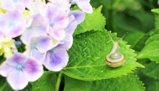 紫陽花が毒性って本当?触っても平気?気になる疑問を調査!