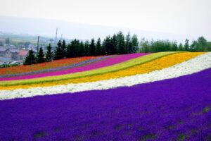 北海道の花畑は圧巻です