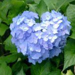 紫陽花の色は土で決まる!土壌によって色が変わる理由とは?