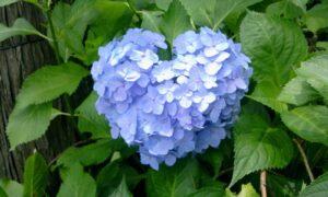 ハートの青色紫陽花