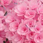 紫陽花のこの病気は何?葉や茎に被害のある病名と対策まとめ