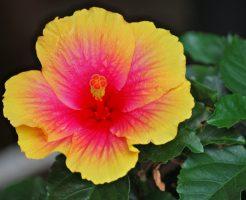 黄色いハイビスカスの花