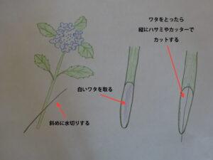 紫陽花のワタの取り方イラスト