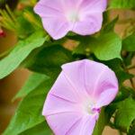 ピンクの朝顔のような花「昼顔」