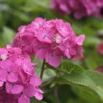 紫陽花の害虫の正体は?虫食いする害虫駆除の方法と対策