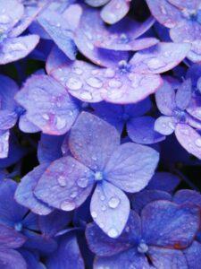 雨露紫あじさい