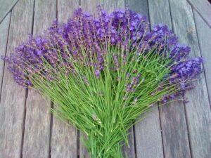 ラベンダーの切り花です