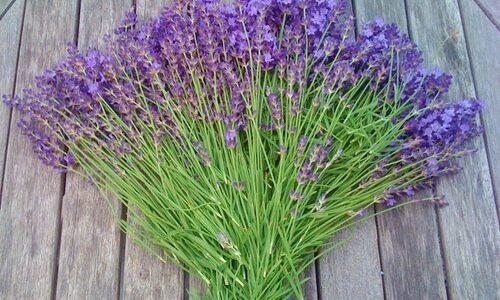 ラベンダーの花が終わった・枯れた後の剪定時期と方法