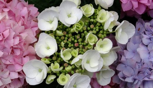 紫陽花の増やし方解説!しっかり増やすための適切な時期とコツ