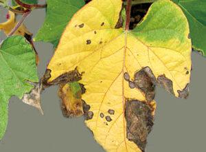 黄色く枯れた朝顔の葉