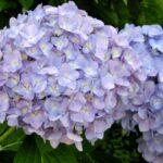 紫陽花の花言葉一覧!青, 白,紫,ピンクの色別の意味