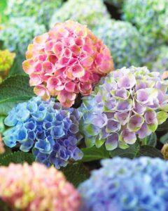 咲き始め、咲き誇り、咲き終わり。どれも魅力的です