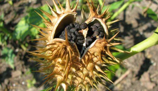 朝顔の種の取り方!取る時期や収穫した種の保存方法とは