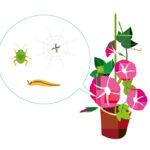 朝顔の害虫・虫食い幼虫の正体は?害虫駆除の方法とは?