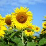ひまわりの季節、開花時期は何月?地域や条件によって変わる?