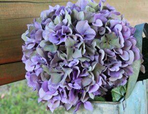 缶に飾った紫陽花のドライフラワー