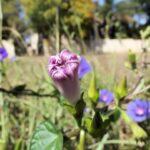 朝顔の花が咲かない&枯れそうな原因と対策方法をまとめ!