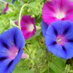 朝顔の種類、品種の名前まとめ!朝顔みたいな似た花や別名も紹介!