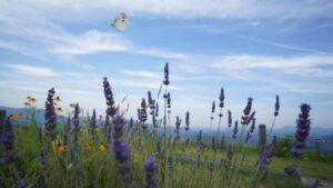 蝶とラベンダー、素敵なコラボ