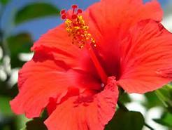 蕾 ハイビスカス が 落ちる の 花が咲かずに落ちる理由