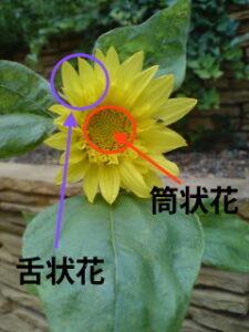 ひまわり舌状花 筒状花説明