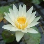 睡蓮の花が咲かないのはなぜ?咲かない原因と対策をまとめ!