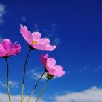 コスモスの種類・品種一覧!花びらの枚数や色の違いはある?