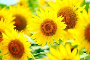 黄色のひまわり