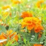 マリーゴールドの開花時期・季節はいつ?地域によって違うの?