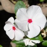 ニチニチソウの花言葉!色別の意味や言葉の由来を紹介!