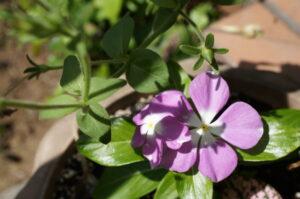 紫のニチニチソウ