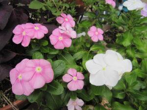 白とピンクのニチニチソウ