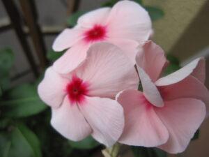 桃色のニチニチソウ