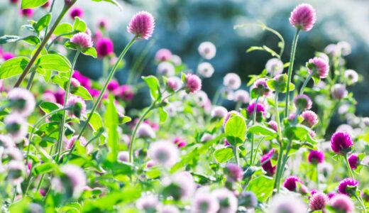 千日紅と寄せ植えで相性OKな花一覧!綺麗に植えるコツも紹介!